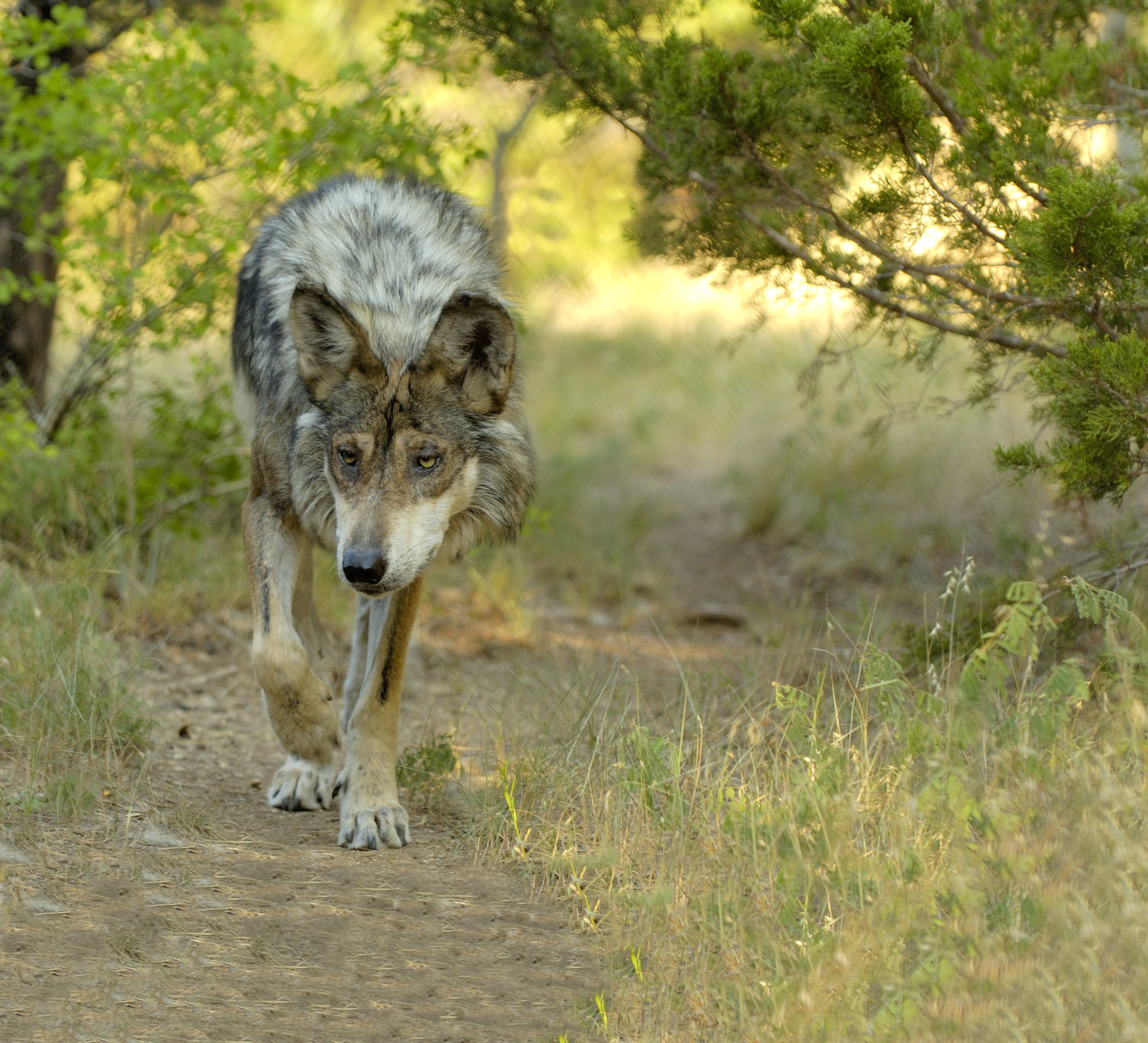 characteristics of gray wolves Common names such as eastern timber wolf and rocky mountain wolf describe geographic origin more than distinguishing physical characteristics all gray wolves are much more similar than they are distinct.