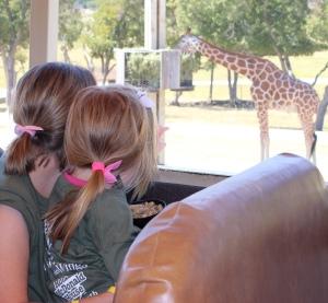 we see giraffe